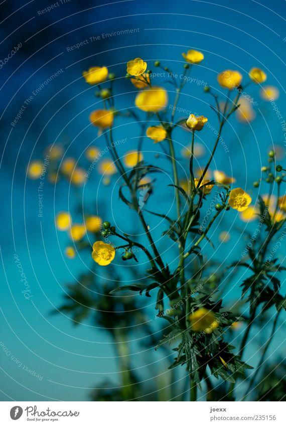 Sonnensystem Himmel blau grün Pflanze Blume gelb Wiese Frühling Blüte frisch Stengel Blauer Himmel Wiesenblume mehrfarbig Hahnenfußgewächse Hahnenfuß