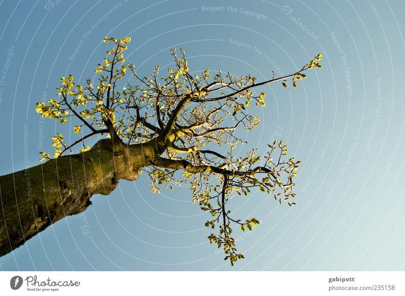 zum Lichte empor... Umwelt Natur Luft Himmel Wolkenloser Himmel Frühling Schönes Wetter Pflanze Baum Blatt Blüte Baumstamm Ast Baumkrone groß oben blau grün