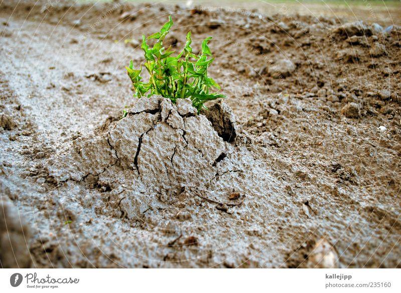 unkraut vergeht nicht Natur Pflanze Umwelt Leben Erde Kraft Feld Beginn Wachstum Wandel & Veränderung Wunsch Landwirtschaft stark Riss Ackerbau
