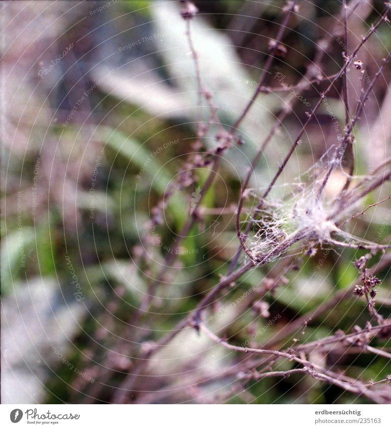 Schmetterlingsgespinst Sommer Natur Pflanze Tier Gras Sträucher Blatt Wildpflanze Wiese Feld Raupe Kokon dehydrieren Wachstum Wandel & Veränderung