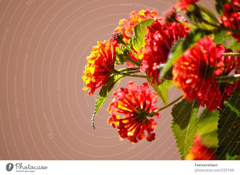Sommerblumen Pflanze Sommer Blume Freude Blatt ruhig Gefühle Frühling Glück Blüte träumen Zufriedenheit Fröhlichkeit Hoffnung Romantik Warmherzigkeit