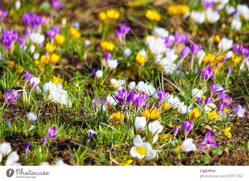 Wer hat die Krokussnuss geklaut Umwelt Natur Landschaft Pflanze Blume Garten Park Wiese Zeichen blau mehrfarbig Liebe Romantik schön ruhig Hoffnung