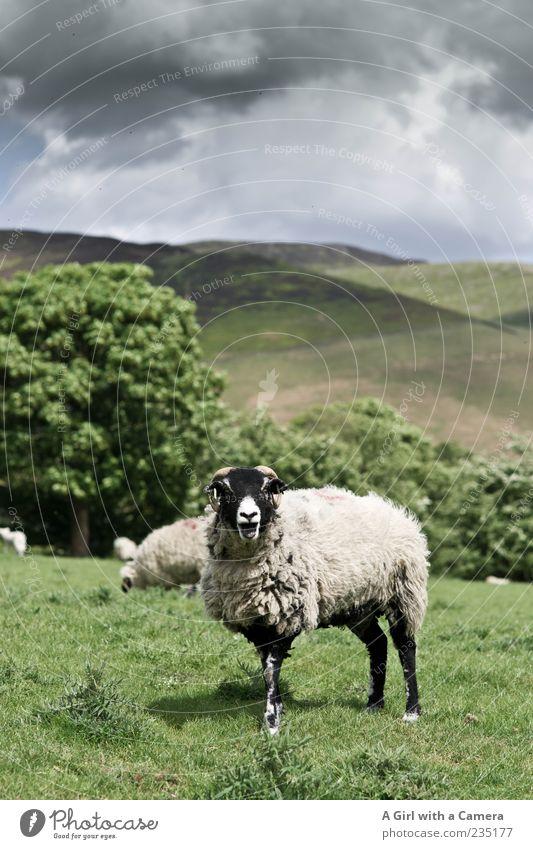 bäääähhhhhhh Natur Landschaft Himmel Wolken Gewitterwolken Frühling Wetter Schönes Wetter Tier Nutztier Schaf Paarhufer Herde Säugetier Tiergruppe grün weiß