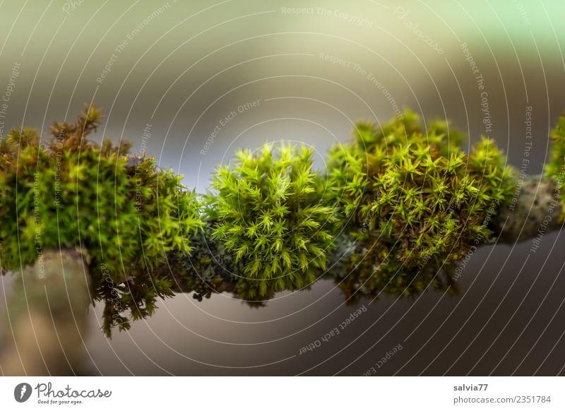 Moospölsterchen Umwelt Natur Pflanze Grünpflanze Ast Zweige u. Äste Wald frisch weich braun grau grün ruhig Zeit Polster Stern (Symbol) fein Farbfoto