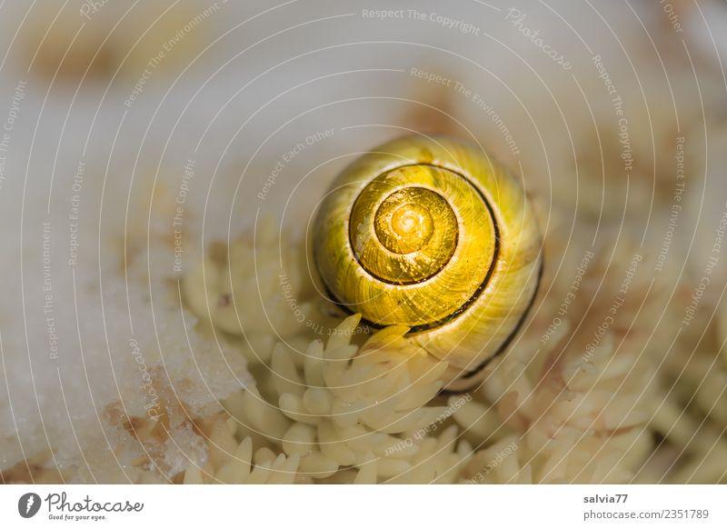 goldenes Häuschen Natur Winter Pflanze Blatt Wildpflanze Fetthenne Schnecke Schneckenhaus 1 Tier gelb weiß Schnee Strukturen & Formen Spirale Farbfoto