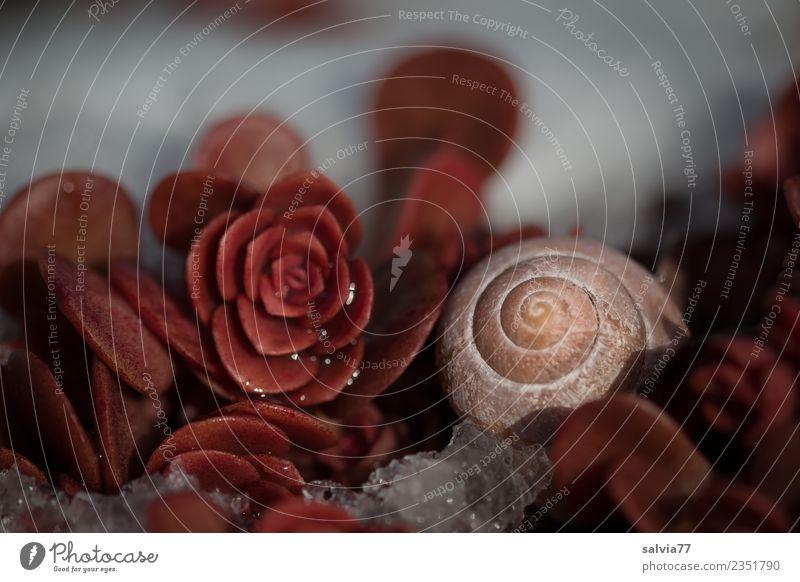 gut behütet | Winterschlaf Natur Herbst Schnee Pflanze Blatt Wildpflanze Fetthenne Blattschatten braun weiß ruhig Schutz Spirale Schneckenhaus Muster Farbfoto
