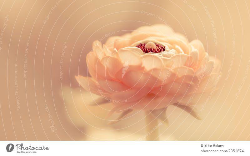 Apricot farbene Ranunkel Blüte Natur Pflanze Sommer Blume Erholung ruhig Frühling Beleuchtung Garten Design Zufriedenheit leuchten elegant Geburtstag Blühend
