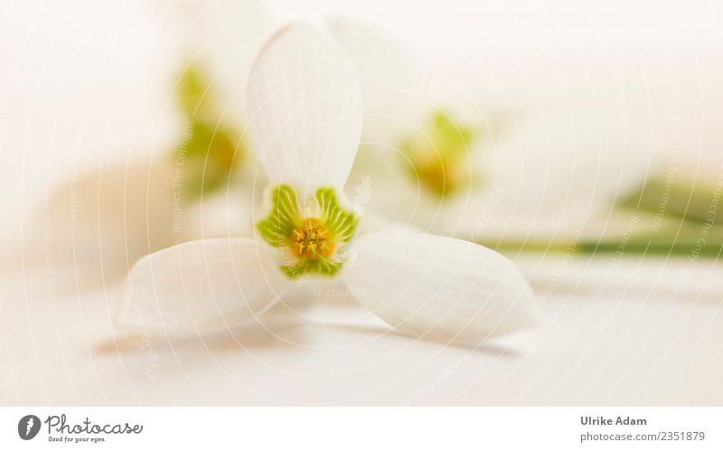 Zarte Makro Blüte vom Schneeglöckchen Natur Pflanze grün weiß Blume Erholung ruhig Leben Frühling Zufriedenheit hell frisch Blühend Romantik Ostern