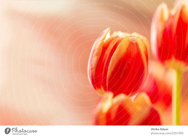 Frühling - Rot gelbe Tulpen Pflanze schön Blume rot Leben Hintergrundbild Blüte Design Dekoration & Verzierung frisch Geburtstag verrückt Blühend Warmherzigkeit