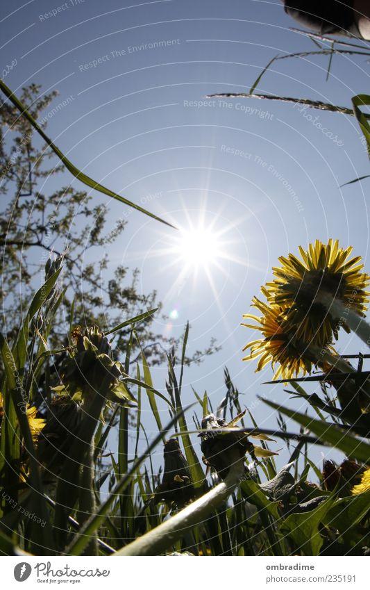 Immer der Sonne nach.... Umwelt Natur Pflanze Himmel Sonnenlicht Frühling Sommer Schönes Wetter Gras Wildpflanze Wiese Löwenzahn Blume Farbfoto Außenaufnahme