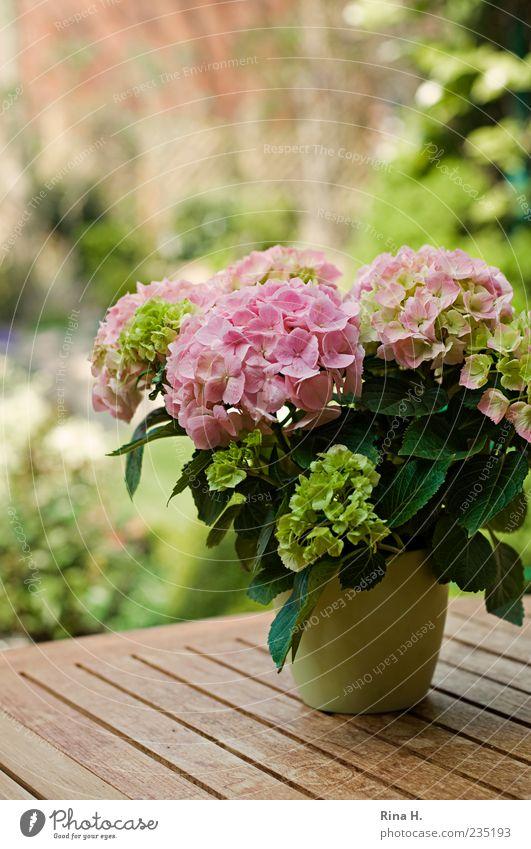 Vorfreude auf den Sommer grün Pflanze Frühling hell rosa Blühend Vorfreude Frühlingsgefühle Topfpflanze Hortensie
