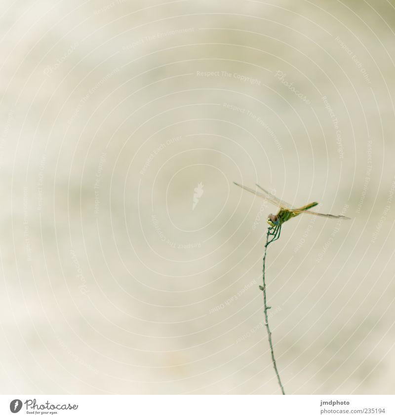 Libelle Natur Tier Umwelt Gras elegant fliegen frei Flügel Perspektive Lebewesen