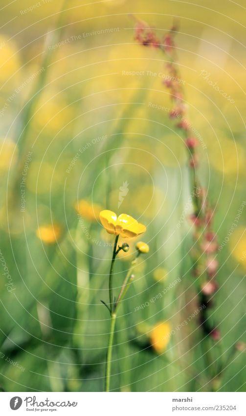 Butterblume Natur Frühling Sommer Pflanze Blume Gras Blüte gelb Sumpf-Dotterblumen Hahnenfuß Unschärfe Farbfoto Außenaufnahme