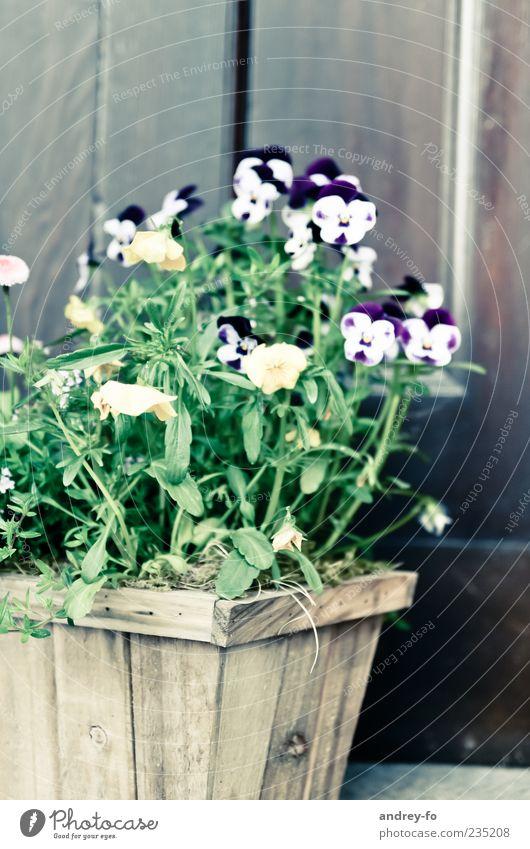Stiefmütterchen. Natur Sommer Pflanze Blume Topfpflanze Holz stehen schön braun grün violett Stiefmütterchenblüte Blumenkasten Kasten Holzwand Sommerblumen