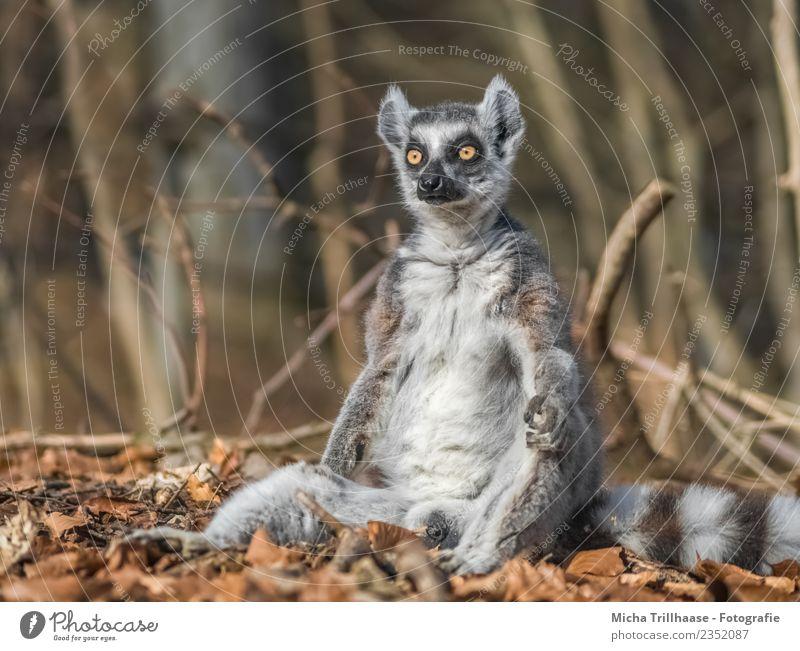 Unmotivierter Affe Natur weiß Sonne Baum Erholung Tier Blatt Wald Auge lustig grau orange leuchten glänzend Wildtier sitzen
