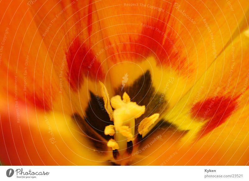 Tulpen #5 ganz nah grün rot Blume Blatt gelb Frühling Blüte orange Stempel Blütenkelch