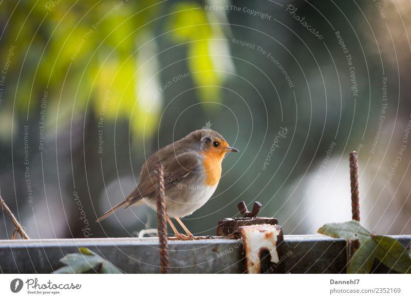 Rotrotrotkehlchen I Frühling Schönes Wetter Pflanze Garten Tier Wildtier Vogel Tiergesicht Flügel 1 beobachten füttern schön klein braun grün Sicherheit Schutz