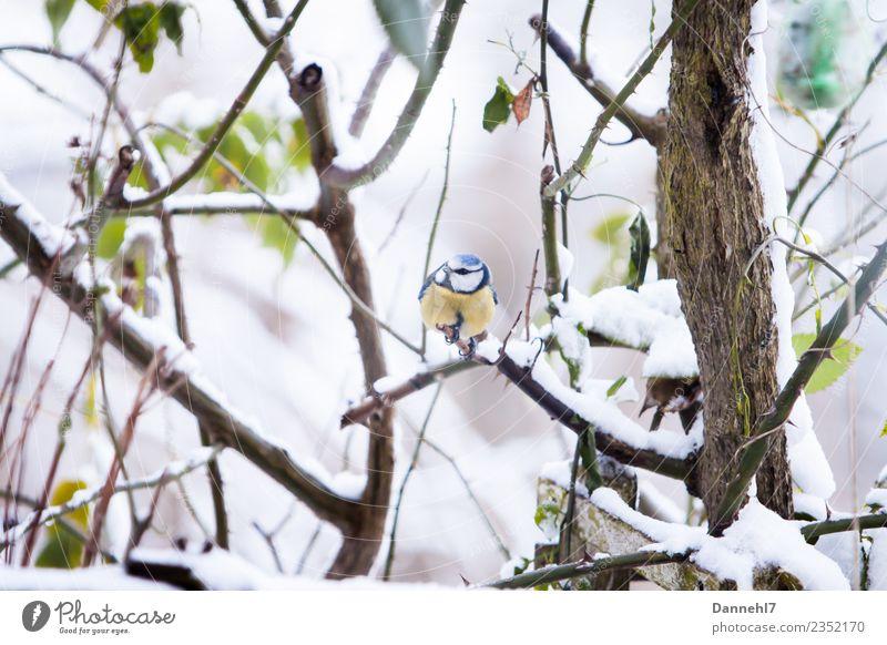 Die Blaue im Schnee Umwelt Natur Winter Wetter Eis Frost Schneefall Pflanze Sträucher Rose Blatt Garten Tier Wildtier Vogel Tiergesicht 1 beobachten frieren