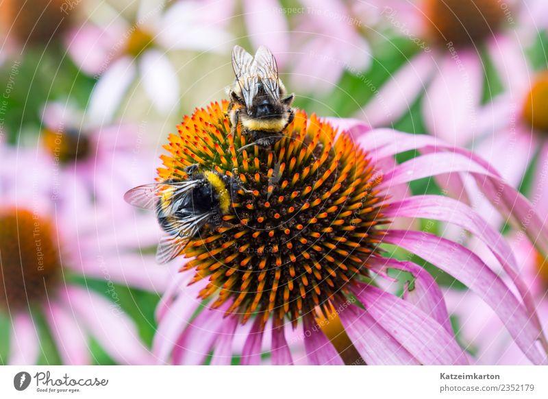 Zwei Bienen bei der Arbeit Natur Pflanze Sommer Landschaft Blume Tier Blüte Frühling Gefühle Glück Garten fliegen Arbeit & Erwerbstätigkeit Zufriedenheit