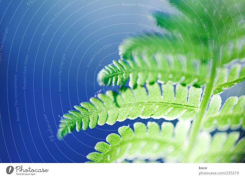 Farn im Gegenlicht blau grün schön Pflanze Sonne Sommer Blatt Frühling glänzend außergewöhnlich frisch ästhetisch Wachstum Stengel Natur