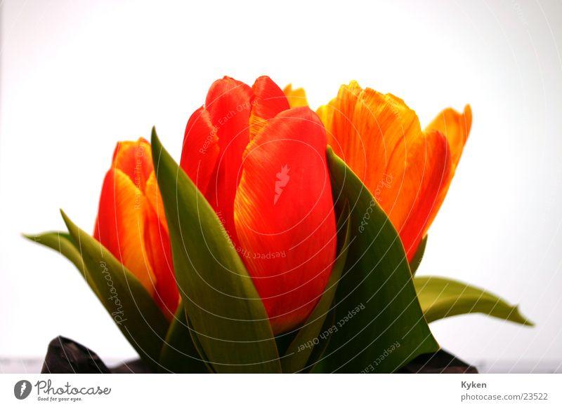 Tulpen #1 grün rot Blume Blatt gelb Frühling Blüte orange