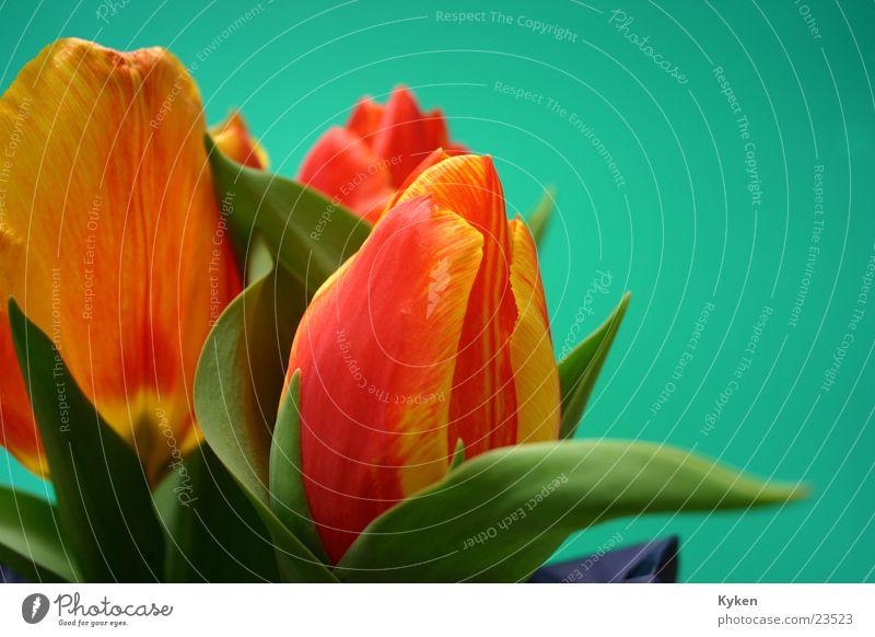 Tulpen #4 Frühling Blume gelb rot grün Blatt Blüte mehrfarbig orange