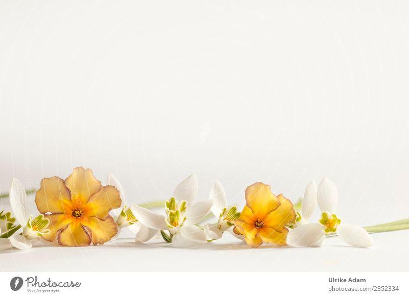 Romantische Vorlage mit Schneeglöckchen und Primeln Pflanze schön weiß Blume Erholung ruhig Leben Hintergrundbild Blüte Frühling Feste & Feiern orange