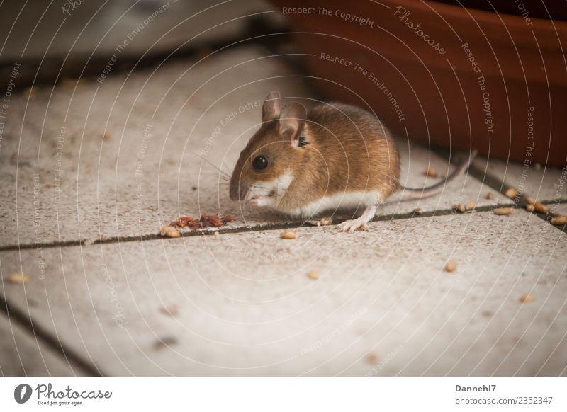 Hier kommt die Maus IV Tier Wildtier Fell 1 beobachten Essen Fressen füttern Ekel klein niedlich braun Neugier Interesse Appetit & Hunger Angst Getreide Korn