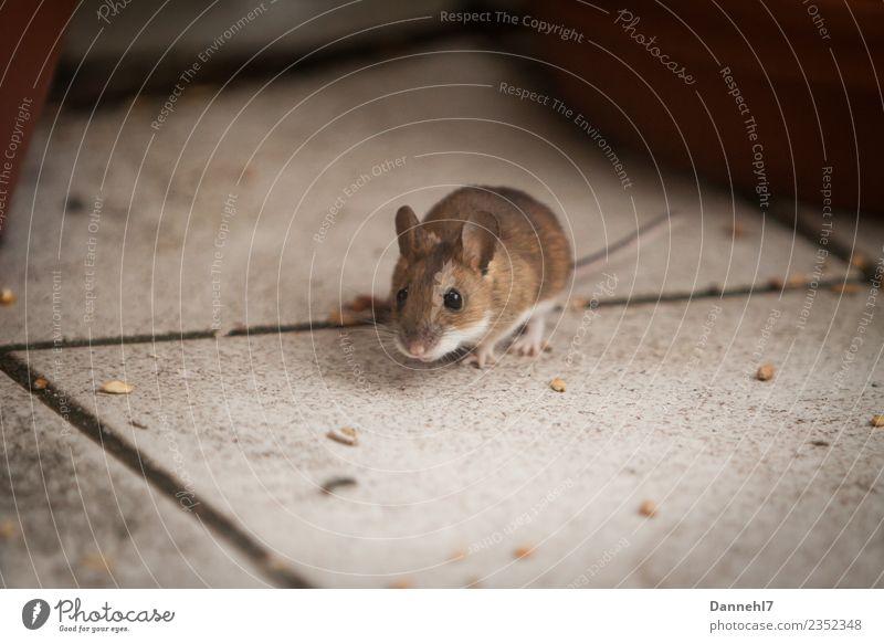 Hier kommt die Maus III Tier Wildtier Fell 1 beobachten Essen Fressen füttern Ekel klein niedlich braun Neugier Interesse Appetit & Hunger Angst Getreide Korn