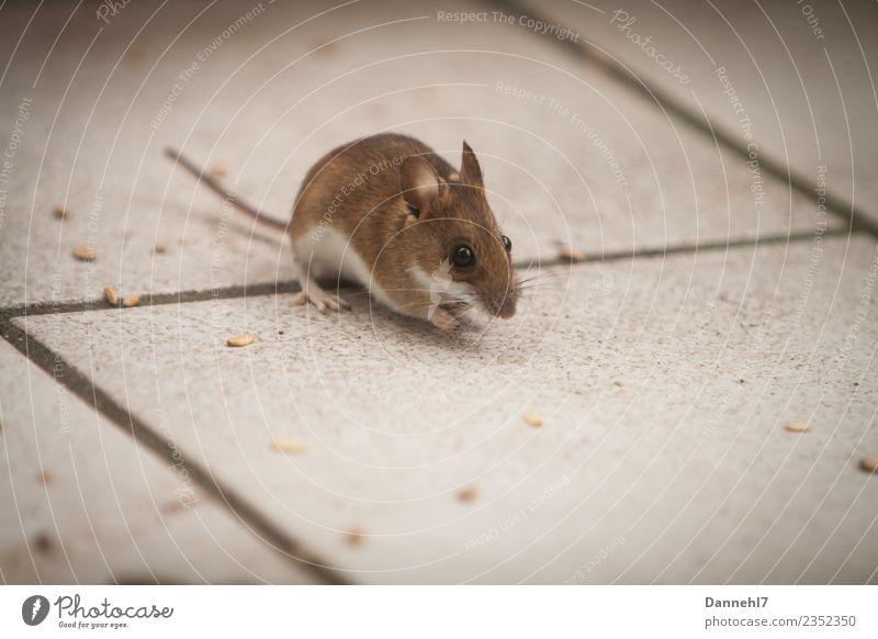 Hier kommt die Maus I Tier Wildtier Fell 1 beobachten Essen Fressen füttern Ekel klein niedlich braun Neugier Interesse Appetit & Hunger Angst Korn