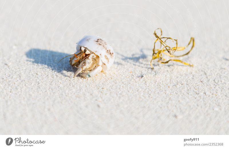 Einsiedlerkrebs IV Ferien & Urlaub & Reisen Abenteuer Sommer Strand Meer Insel Umwelt Natur Sand Küste Malediven Tier Wildtier Muschel Tiergesicht Fährte