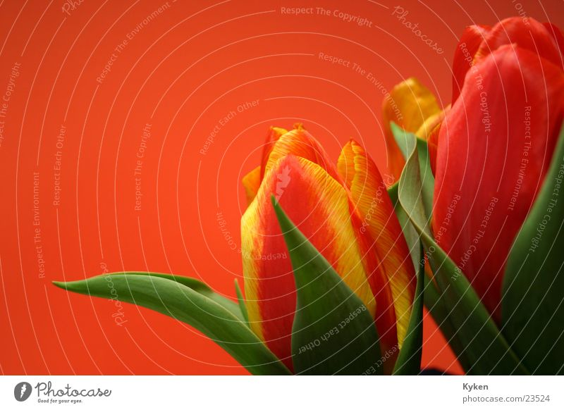 Tulpen #3 grün rot Blume Blatt gelb Frühling Blüte orange Tulpe