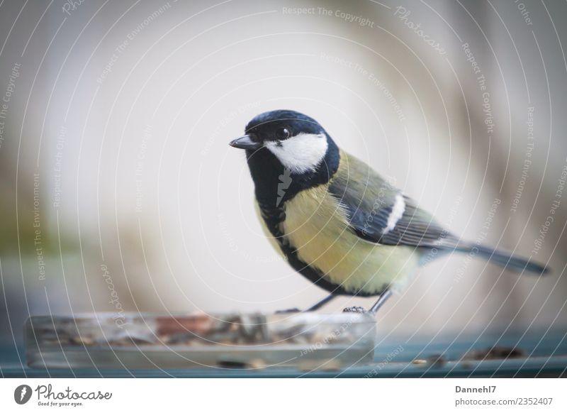 Die Kohlmeise von nebenan grün Tier schwarz Essen gelb Vogel warten beobachten Wachsamkeit Schnabel füttern Futter Meisen Gelbstich