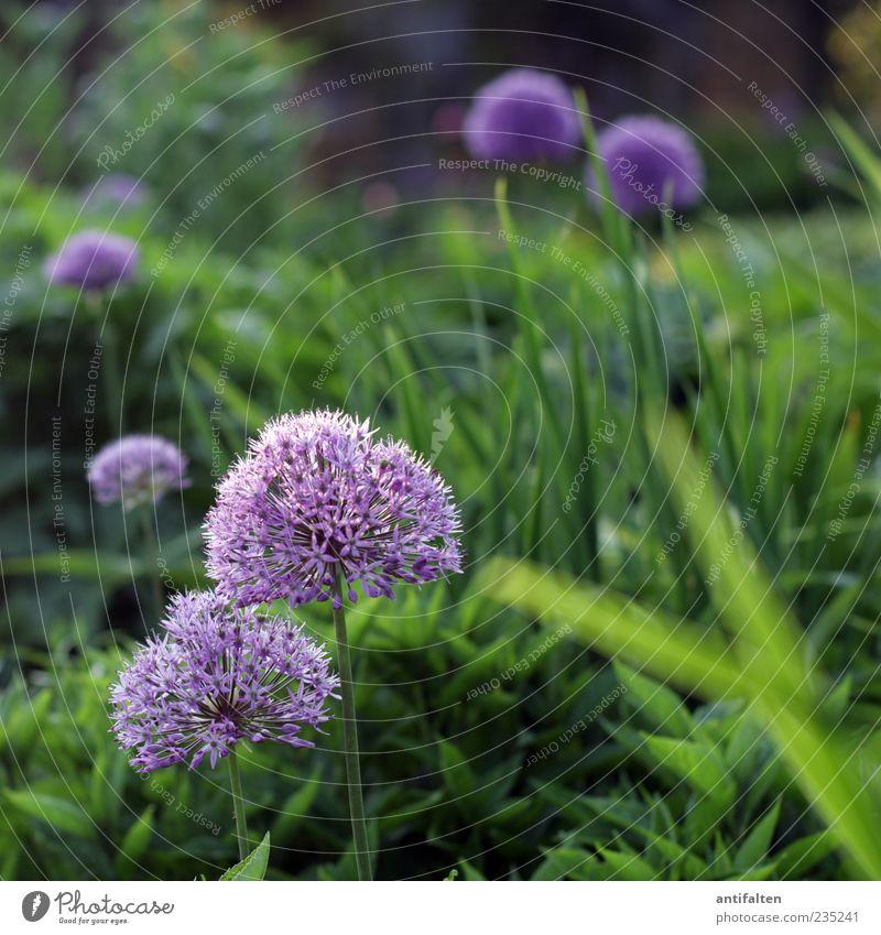 Schöner Zierlauch Natur Pflanze Blume Gras Blatt Blüte Garten Park grün violett Farbfoto Außenaufnahme Menschenleer Tag Licht Schatten Unschärfe