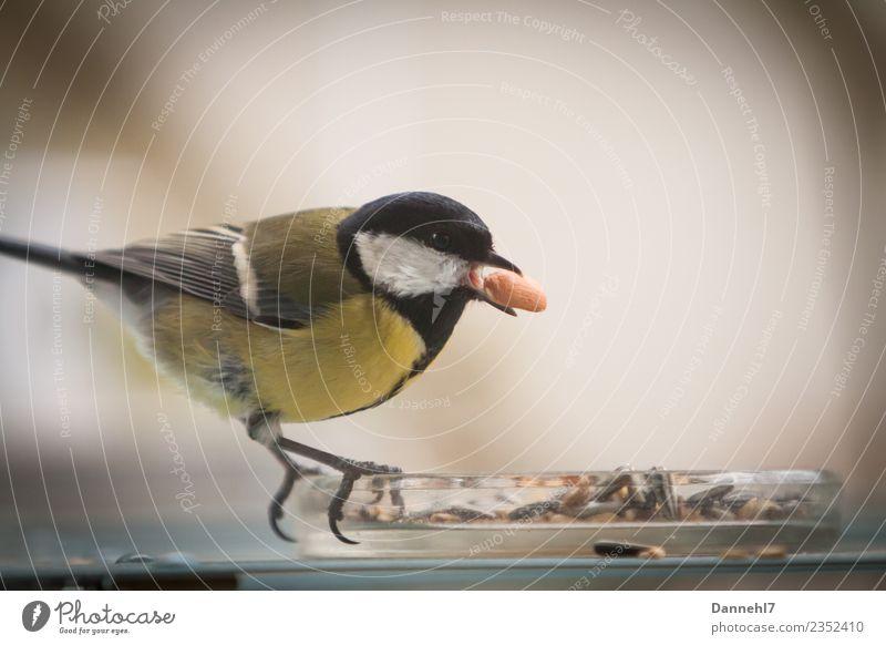 Kohldampf Tier Wildtier Vogel 1 Essen füttern Kohlmeise Meisen Erdnuss Vogelfutter Appetit & Hunger Schnabel Farbfoto Außenaufnahme Menschenleer Tag