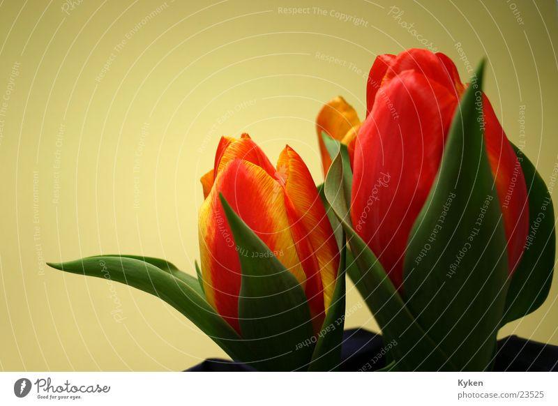 Tulpen #2 grün rot Blume Blatt gelb Frühling Blüte orange Tulpe