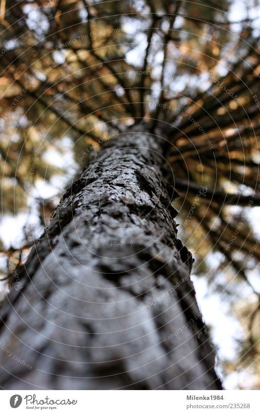 einer von vielen Natur Pflanze Frühling Baum hoch Kiefer Baumrinde Baumstamm Ast Höhe oben Farbfoto Außenaufnahme Tag Schwache Tiefenschärfe Froschperspektive