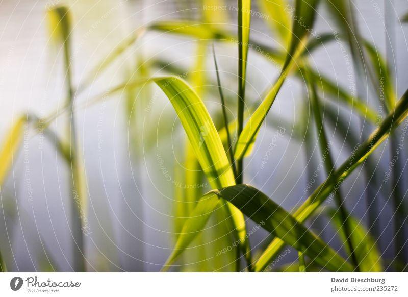 Abends am Fluss Natur grün Pflanze ruhig Gras natürlich Schilfrohr Stengel Halm Grünpflanze gekrümmt Detailaufnahme durchleuchtet