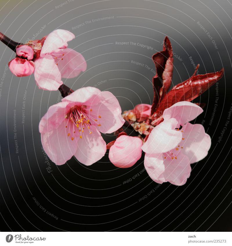 Blüten Umwelt Natur Pflanze Frühling Blume Blatt Garten Blühend Wachstum schön rosa schwarz Farbfoto Außenaufnahme Menschenleer Tag Kontrast Textfreiraum oben