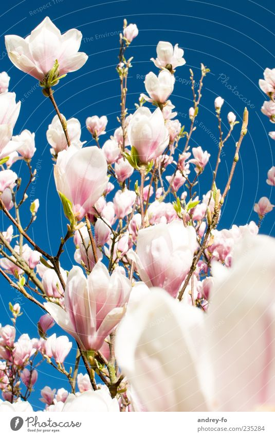 Magnolienbaum Himmel Natur blau schön Baum Sommer Blume Frühling Blüte rosa Ast Schönes Wetter Blühend Blütenknospen Wolkenloser Himmel Blauer Himmel