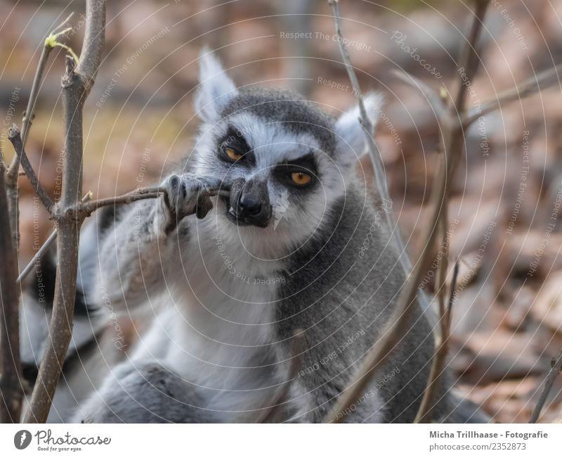 Zähneputzender Affe Natur Tier Sonne Schönes Wetter Zweige u. Äste Wald Wildtier Tiergesicht Fell Pfote Affen Katta Halbaffen Auge 1 Zahnbürste Fressen Reinigen