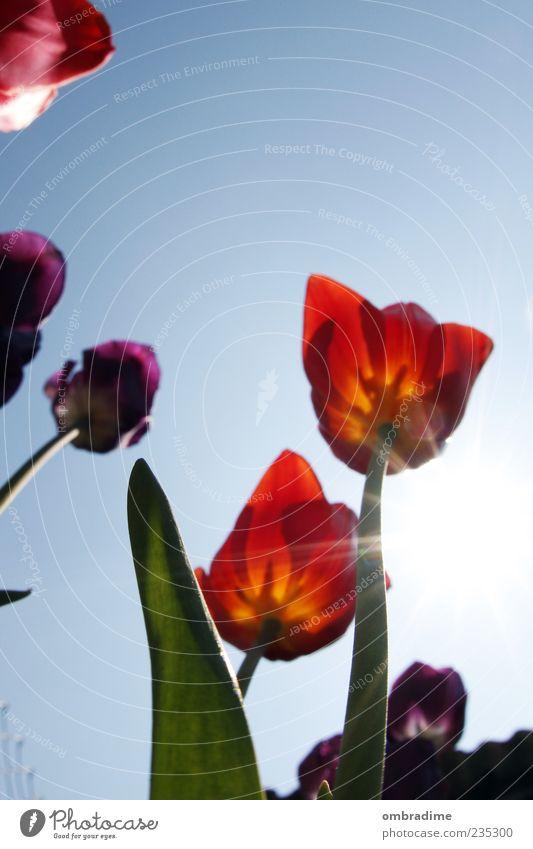 Tulip Umwelt Pflanze Schönes Wetter Tulpe Blüte schön blau gelb grün violett rot Farbfoto Außenaufnahme Tag Kontrast Sonnenlicht Sonnenstrahlen