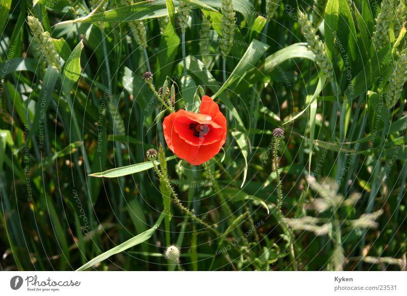 die Letzte Blume grün rot Sommer Gras Feld Mohn Korn