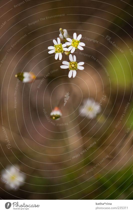 spring Umwelt Natur Pflanze Frühling Blume Blüte ästhetisch elegant frisch braun gelb weiß Farbfoto Außenaufnahme Nahaufnahme Makroaufnahme Menschenleer