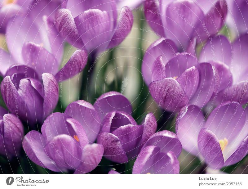 Frühling, lila Natur Pflanze Schönes Wetter Blume Blüte Krokusse Wiese schön violett Freude Farbfoto mehrfarbig Makroaufnahme Tag Licht Sonnenlicht