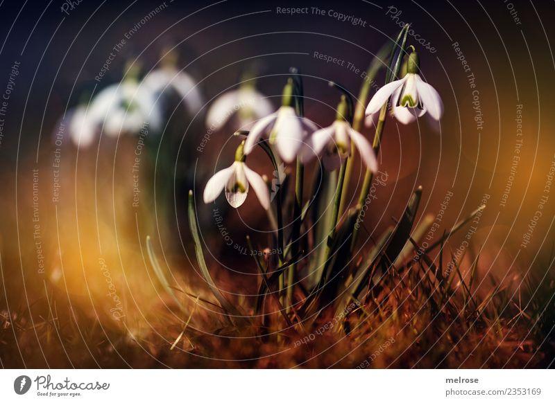 Schneeglöckchen - Stars Umwelt Natur Erde Sonne Sonnenlicht Frühling Schönes Wetter Pflanze Blume Blatt Blüte Wildpflanze Frühblüher Blütenpflanze
