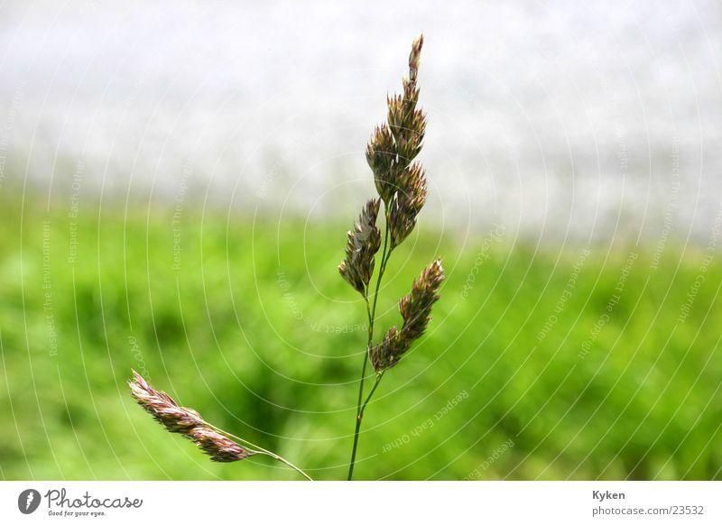 der Halm Gras grün Wiese Wegrand