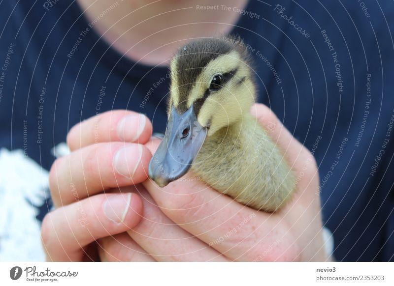 Entenküken in den Händen eines jungen Mannes Junger Mann Jugendliche Erwachsene Körper 1 Mensch 18-30 Jahre Tier Haustier Nutztier Wildtier Vogel Tiergesicht