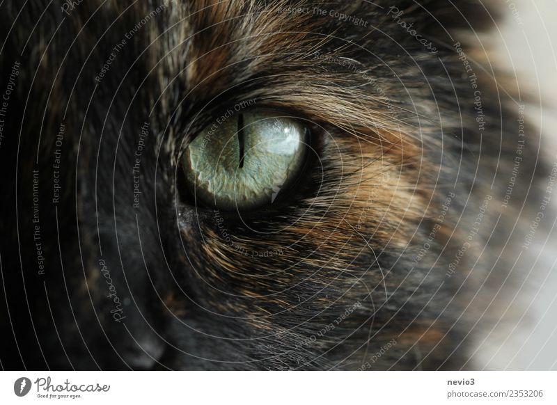 Katzenauge in Detailaufnahme Tier Haustier Nutztier Wildtier Fell 1 Aggression bedrohlich Neugier klug schön seriös stark braun schwarz Kraft Willensstärke Auge