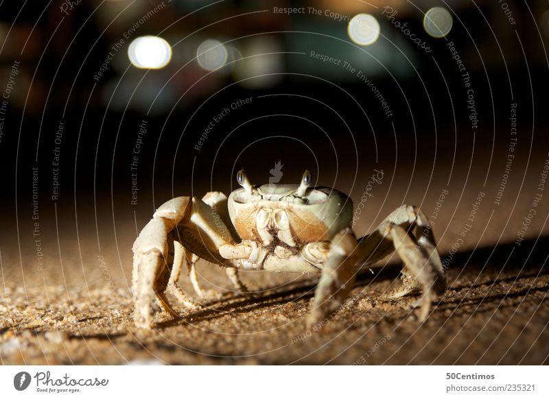 Der Krebs am Strand - crab on the beach Natur schön ruhig Auge Tier gelb Leben Bewegung Sand Beine braun Kraft elegant ästhetisch natürlich Mut